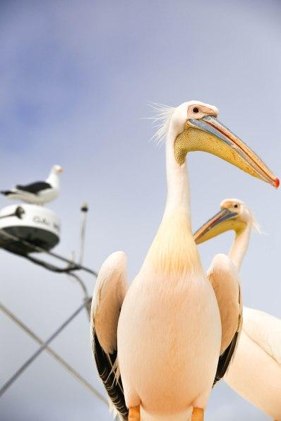 pelicans at Walvis Bay