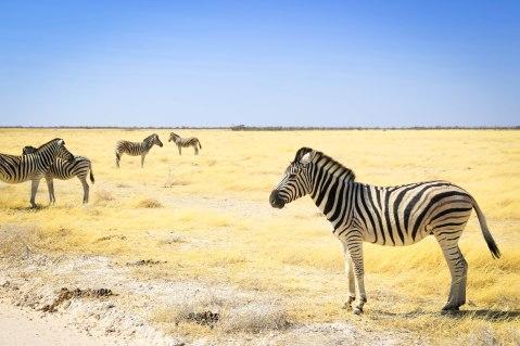 zebras at Etosha National Parl